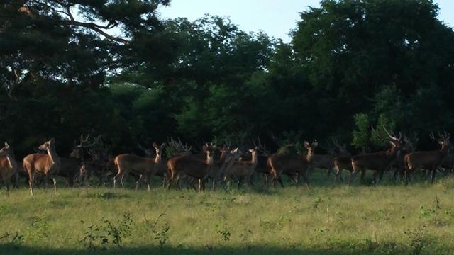 Rombongan rusa sedang berkumpul